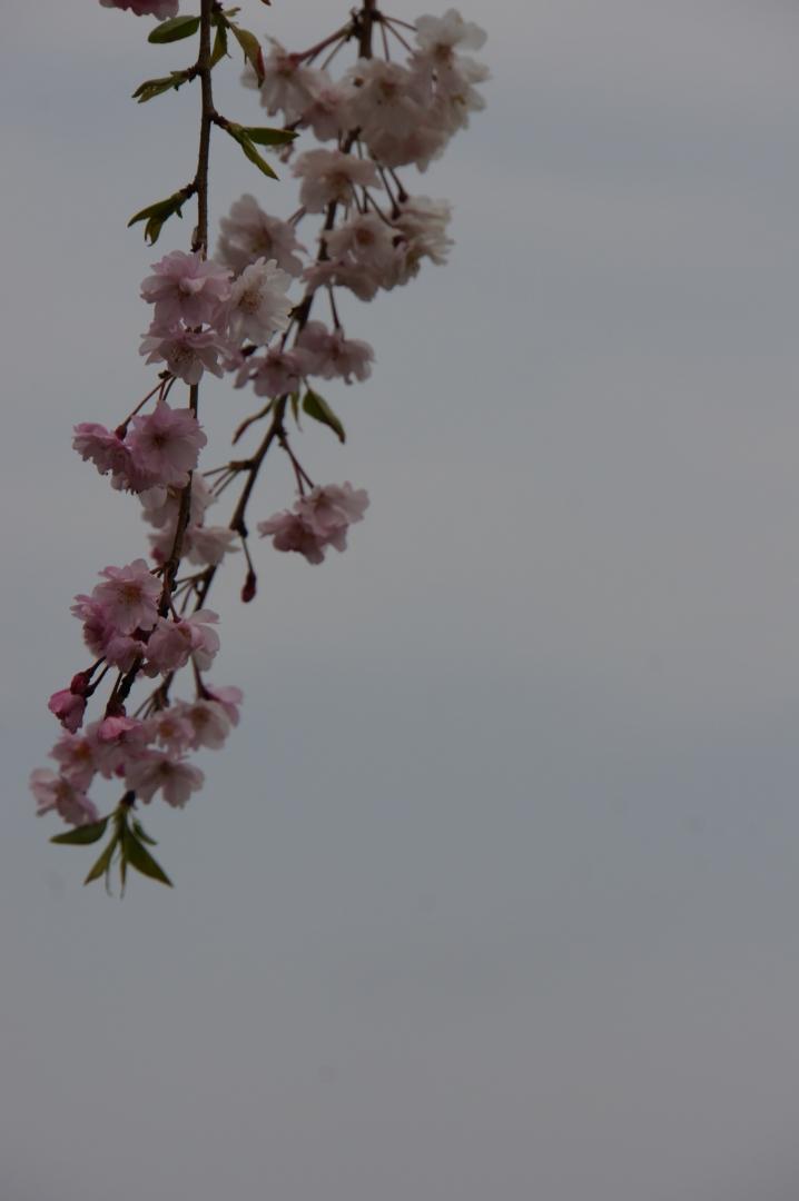 Sakura07.jpg